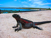 Galapagos Islands Marine Iguana. Marine Iguana warming himself in the sun on one of the galapagos islands royalty free stock image