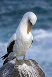 Galapagos Islands - Nazca or Masked Booby Royalty Free Stock Photos