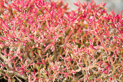 Galapagos Islands Red Vegetation. Red vegetation growing wild in theGalapagos Islands royalty free stock image