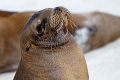 Galapagos Islands Sea Lion. Sea lion on the beach in the Galapagos Islands stock image