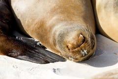 Galapagos Islands Sea Lion. Sea lion on the beach in the Galapagos Islands royalty free stock photography