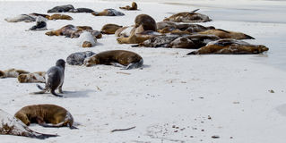 Galapagos Islands Sea Lions. Sea lions relaxing on the beach in the Galapagos Islands royalty free stock image