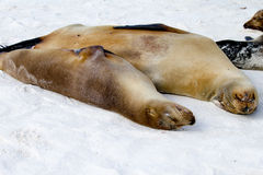 Galapagos Islands Sea Lions. Sea lions on the beach in the Galapagos Islands Stock Images