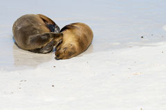 Galapagos Islands Sea Lions. Sea lions on the beach in the Galapagos Islands stock photo