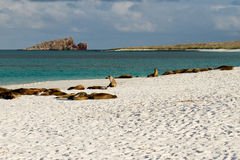 Galapagos Islands Sea Lions. Sea lions relaxing on the beach in the Galapagos Islands Stock Photos