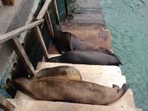 Galapagos Islands Sea Lions Asleep Royalty Free Stock Photos