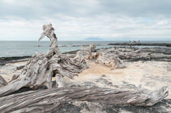 Galapagos islands  - weathered tree trunk Royalty Free Stock Photography