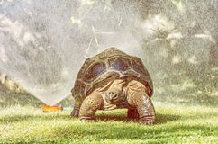 Galapagos jätte- sköldpadda och trädgårds- vattensprejare Arkivbilder