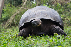 Galapagos jätte- sköldpadda, Santa Cruz högländer Fotografering för Bildbyråer