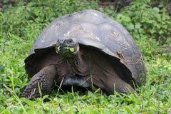 Galapagos jätte- sköldpadda som tycker om ett mål Royaltyfri Foto