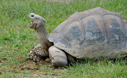 galapagos jättesköldpadda Arkivfoton