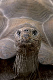 galapagos jättesköldpadda Royaltyfri Bild