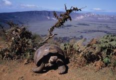 galapagos jättesköldpadda Royaltyfria Bilder