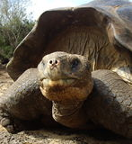 galapagos jättesköldpadda Arkivfoto