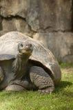 Galapagos jättesköldpadda Arkivbilder