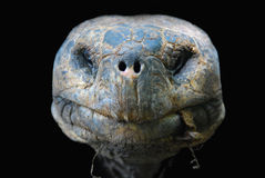 galapagos jättesköldpadda Royaltyfri Fotografi