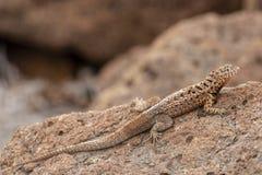 Galapagos jaszczurki Microlophus Lawowy albemarlensis w Galapagos Ja zdjęcia royalty free