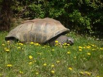 galapagos jättesköldpadda Royaltyfri Foto