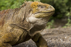Galapagos Land Iguana. On Fernandina Island in the Galapagos Islands off the coast of Ecuador Royalty Free Stock Image