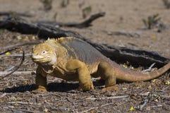 Galapagos Land Iguana. (Conolophus subcristatus). Vulnerable and endemic to Galapagos. Urvina Bay, Isabela Island, Galapagos, Ecuador stock photos