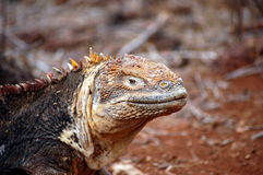 Galapagos Land Iguana. Stock Images
