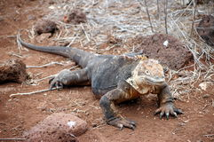 Galapagos Land Iguana. Royalty Free Stock Photography