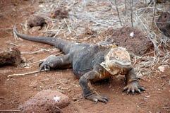 Galapagos Land Iguana. This photo was taken on Seymour Island, Galapagos Royalty Free Stock Photography