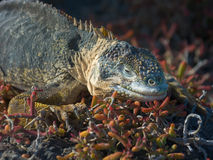Galapagos Land Iguana. (Conolophus subcristatus). Vulnerable and endemic to Galapagos. South Plaza Island, Isabela Island, Galapagos, Ecuador royalty free stock photography