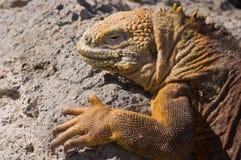 Galapagos Land Iguana. (Conolophus subcristatus). Vulnerable and endemic to Galapagos. Urvina Bay, Isabela Island, Galapagos, Ecuador stock photo