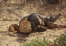 Galapagos Land Iguana Stock Photography