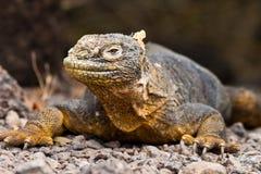 Galapagos Land Iguana. A land iguana (Conolophus subcristatus) from South Plaza Island, Galapagos, Ecuador royalty free stock images