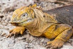 Galapagos Land Iguana. Iguana in the Galapagos Islands in Ecuador stock images