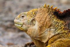 Galapagos Land Iguana. Iguana in the Galapagos Islands in Ecuador stock photos