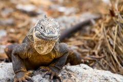 Galapagos Land Iguana. Iguana in the Galapagos Islands in Ecuador stock photo