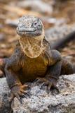 Galapagos Land Iguana. Iguana in the Galapagos Islands in Ecuador royalty free stock image