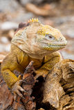 Galapagos Land Iguana. Iguana in the Galapagos Islands in Ecuador stock image
