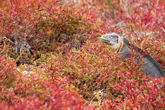 Galapagos Land Iguana. Land iguana in red vegetation in the Galapagos Islands in Ecuador royalty free stock photo