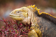 Galapagos Land Iguana. Land iguana in red vegetation in the Galapagos Islands in Ecuador Royalty Free Stock Images