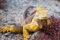 Galapagos Land Iguana. Land iguana on a rock in the Galapagos Islands in Ecuador stock image