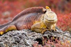 Galapagos Land Iguana. Land iguana on a rock in the Galapagos Islands in Ecuador Stock Images