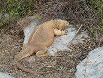 Galapagos land iguana in arid part of islands Stock Photo