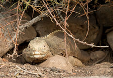 Galapagos land iguana in arid part of islands Royalty Free Stock Photo