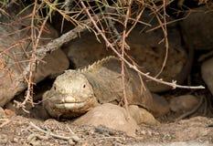 Galapagos land iguana in arid part of islands Royalty Free Stock Photo