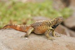 Galapagos Land Iguana basking on a rock. Galapagos Land Iguana Conolophus subcristatus basking on a rock royalty free stock image