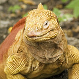 Galapagos Land Iguana Close-Up Stock Photos