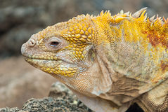Galapagos land iguana in close up. Royalty Free Stock Photos