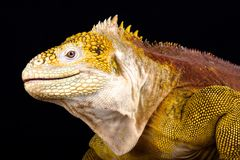 Galapagos land iguana Conolophus subcristatus. The Galapagos land iguana Conolophus subcristatus is an giant, cactus eating, lizard species endemic to the royalty free stock photos
