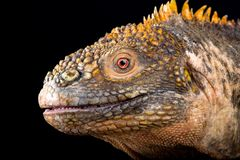 Galapagos land iguana Conolophus subcristatus. The Galapagos land iguana Conolophus subcristatus is an giant, cactus eating, lizard species endemic to the stock image