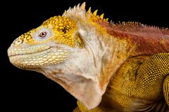 Galapagos land iguana Conolophus subcristatus. The Galapagos land iguana Conolophus subcristatus is an giant, cactus eating, lizard species endemic to the royalty free stock image