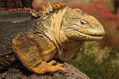 Galapagos Land Iguana (Conolophus subcristatus) Royalty Free Stock Photos